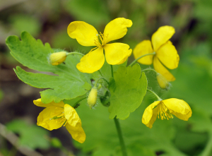 What's New With Prostate Cancer (Greater Celandine)