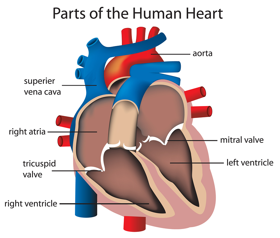 What are the most common causes of mitral valve heart disorder?