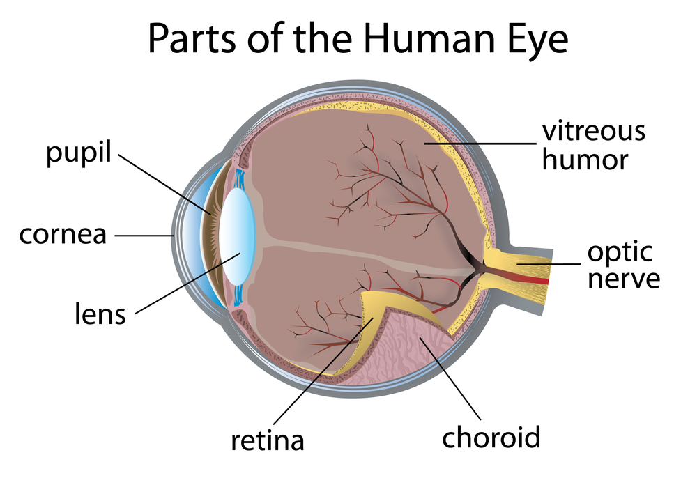 Anatomy Of The Eye Net Health Book