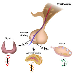 The pituitary gland and dwarfism