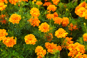 Prevention Of Macular Degeneration (Lutein Is Extracted From Marigolds)