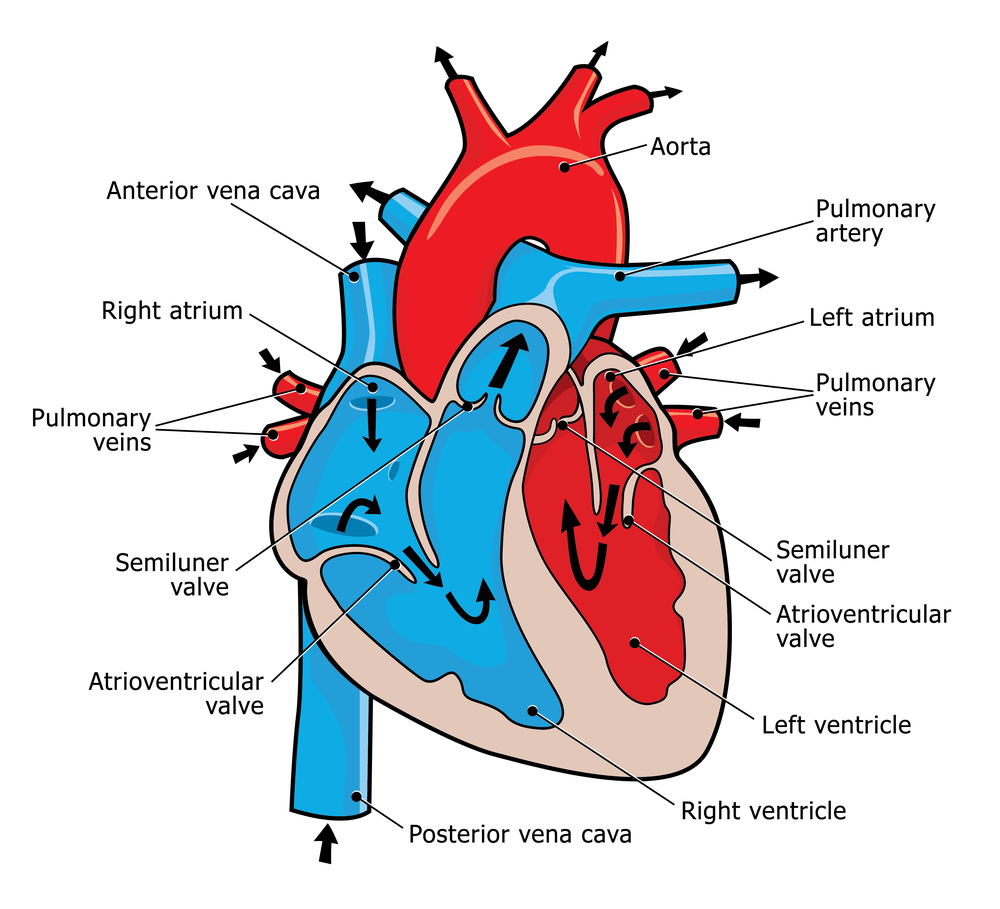 Diagram of blood flow through the heart and body smartdraw diagrams blood flow through the heart publicscrutiny Choice Image