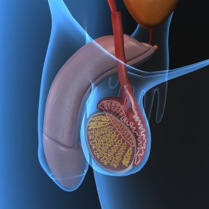Testicular Torsion (Normal Anatomy, Compare With Above Link)
