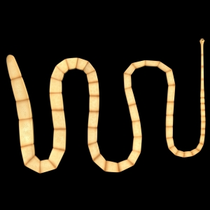 Taenia solium (Pig Tapeworm)