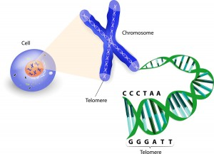 Shortened Telomeres Predict Cancer