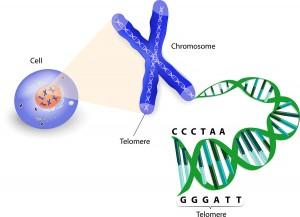 Shortened Telomeres Predict Cancer