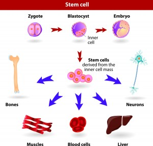 Stem Cells As Future Therapy