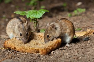 Antiaging Medication For Mice