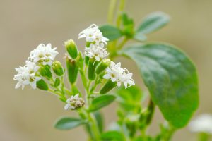 Concerns About Stevia?